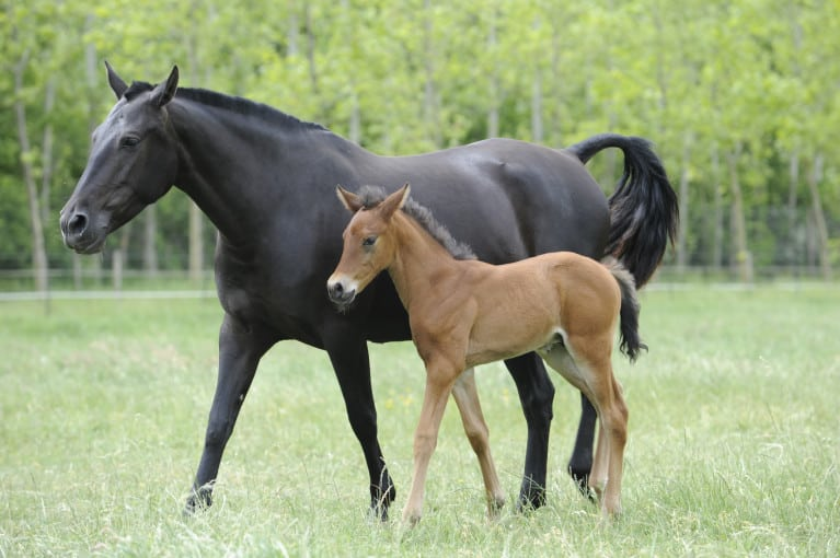 how soon can i ride my mare after foaling horse and rider