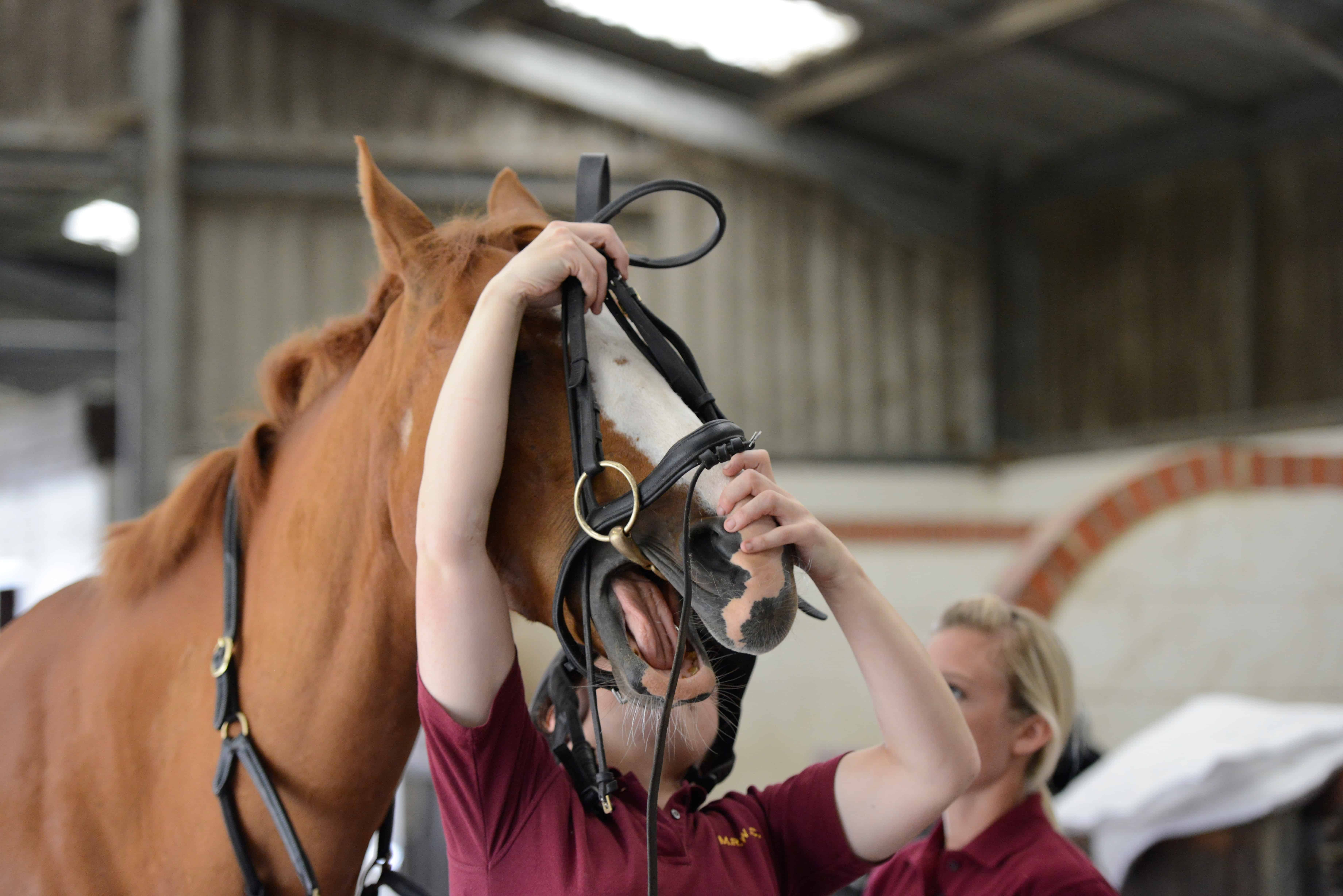 how to put a bridle and bit on a horse