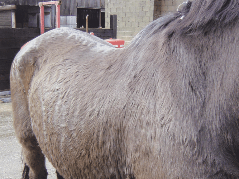 Horse with curly coat showing signs of shushing's disease