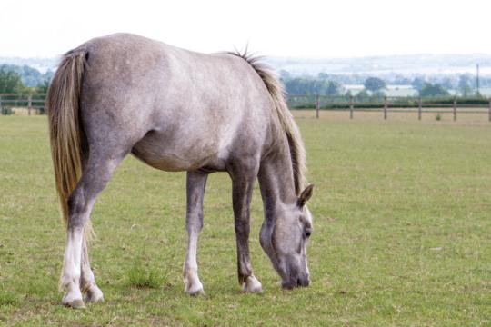 Horse grazing grass