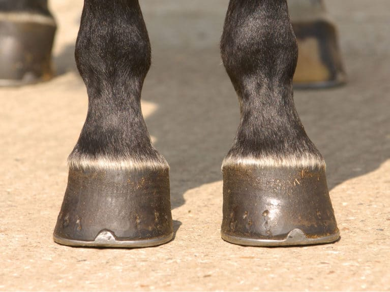Looking at a horse's hooves for confirmation