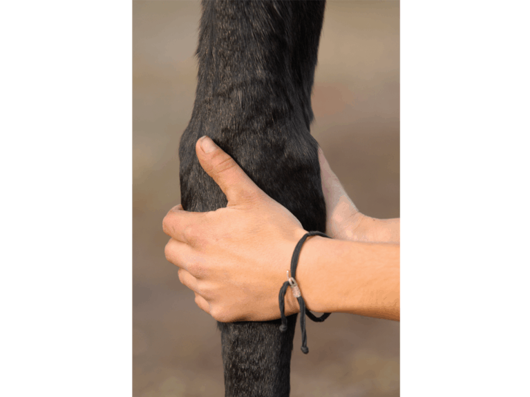 Checking horses legs for signs of arthritis