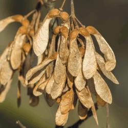 sycamore tree seedlings