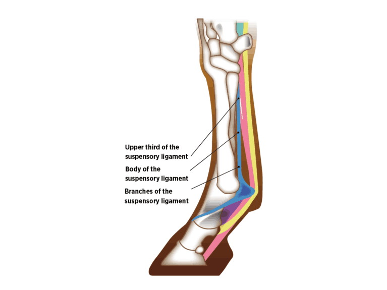 Diagram of the Suspensory Ligament in a horse