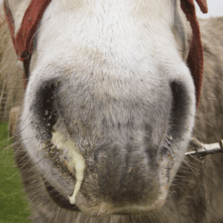 Horse showing symptoms of strangles