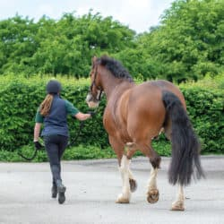 Horse being trotted up for navicular assessment