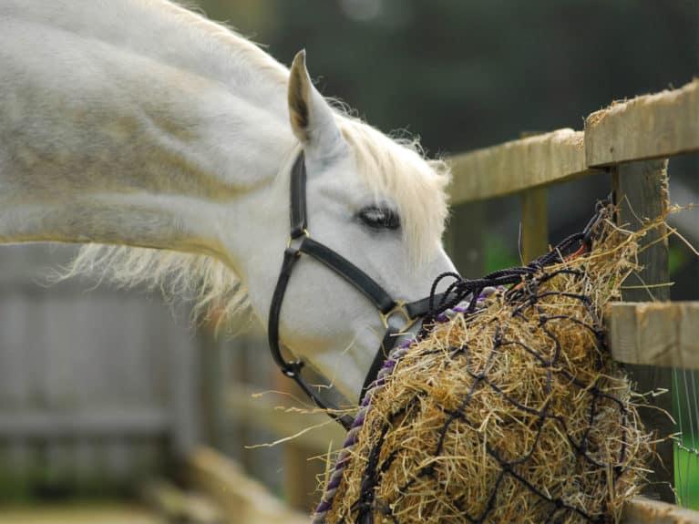 Horse eating from a Haynes ties below head height