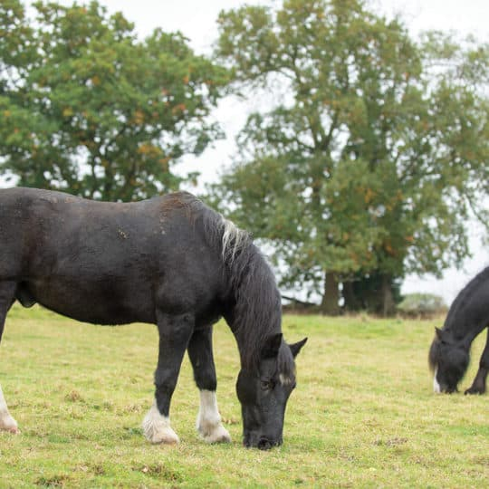 Retired ponies grazing in field