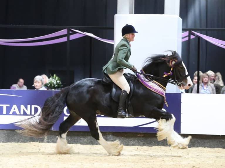 Traditional Gypsy cob competing at SEIB Search for a Star at HOYS