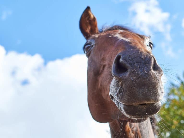 Equine flu outbreak