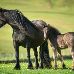 Fell mare and foal