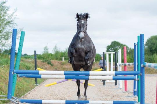 Horse loose jumping