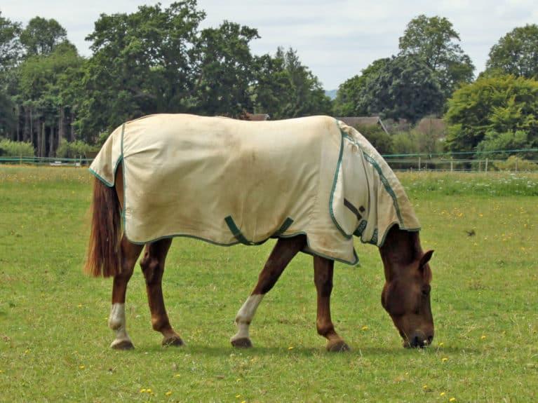 horse grazing in summer paddock