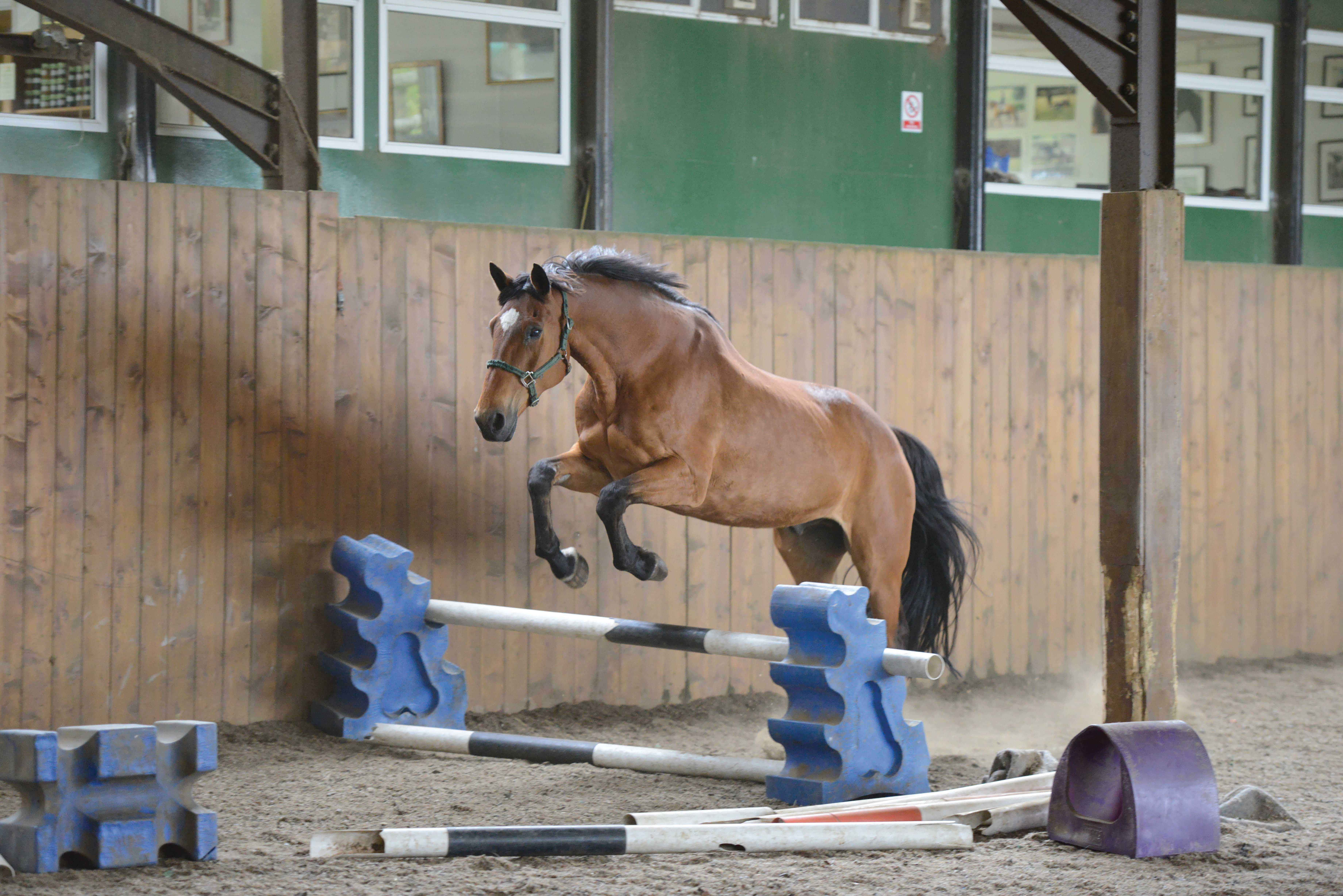 Loose jumping a horse
