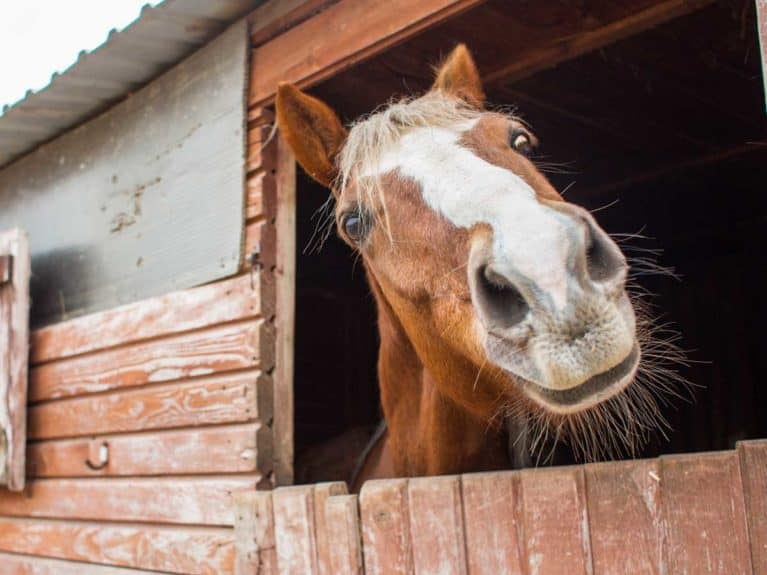 Horse peering out over stable door