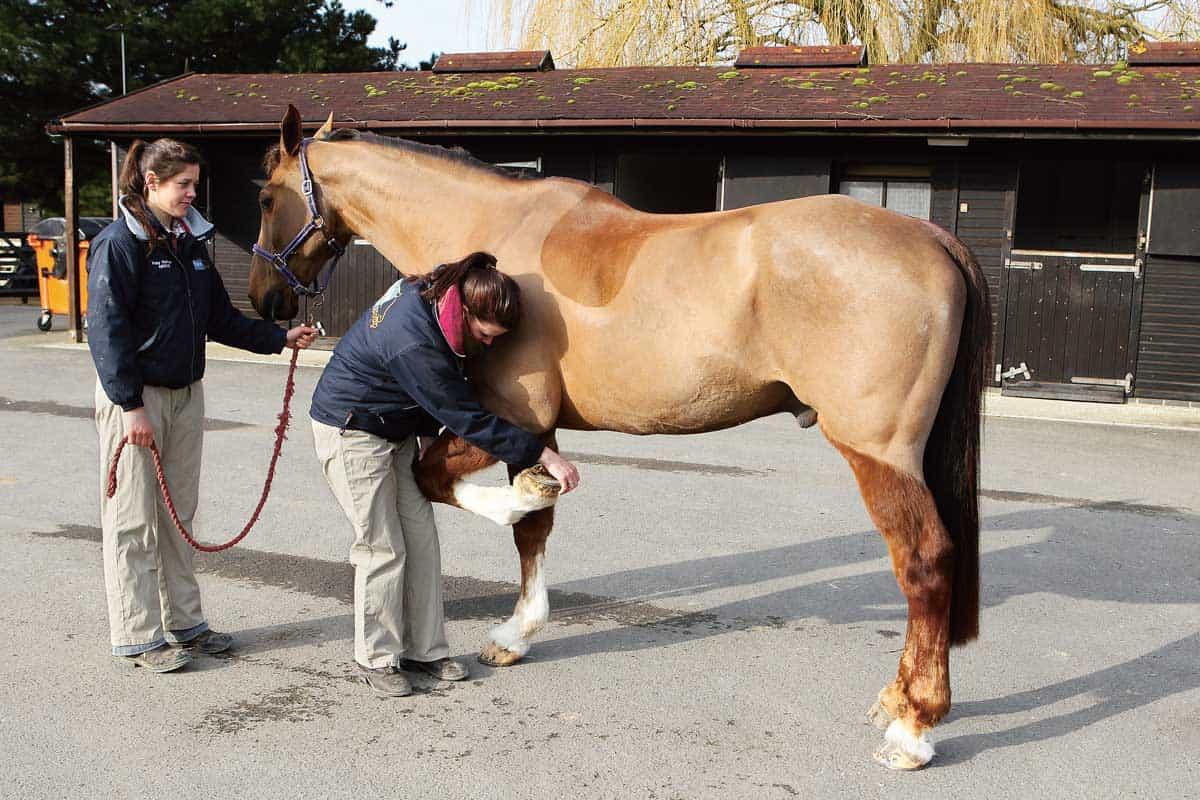 Horse being flexed