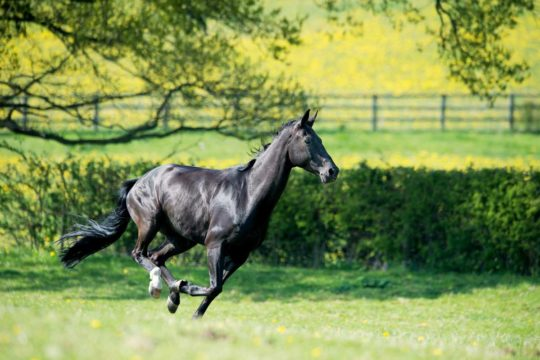 Horse galloping through field