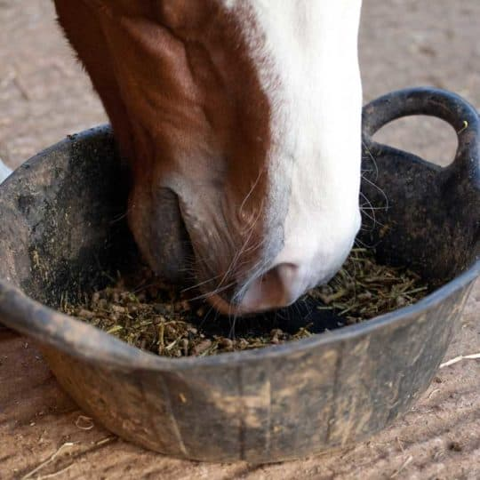 Horse eating from bucket