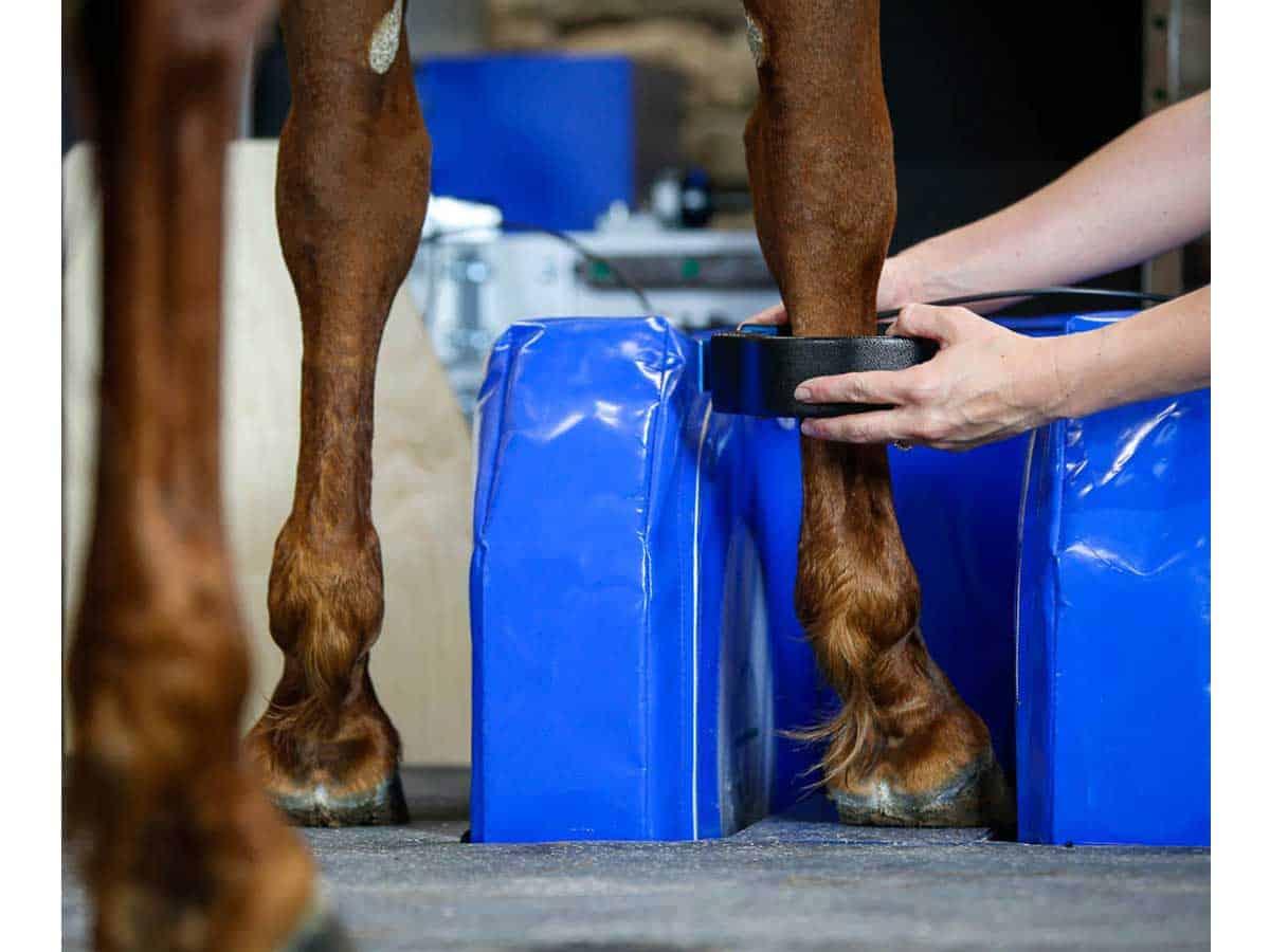 Horse's leg in MRI magnet