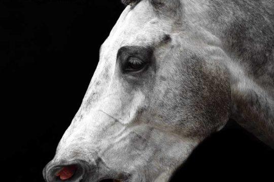 Synovium-Image_Horse-coughing