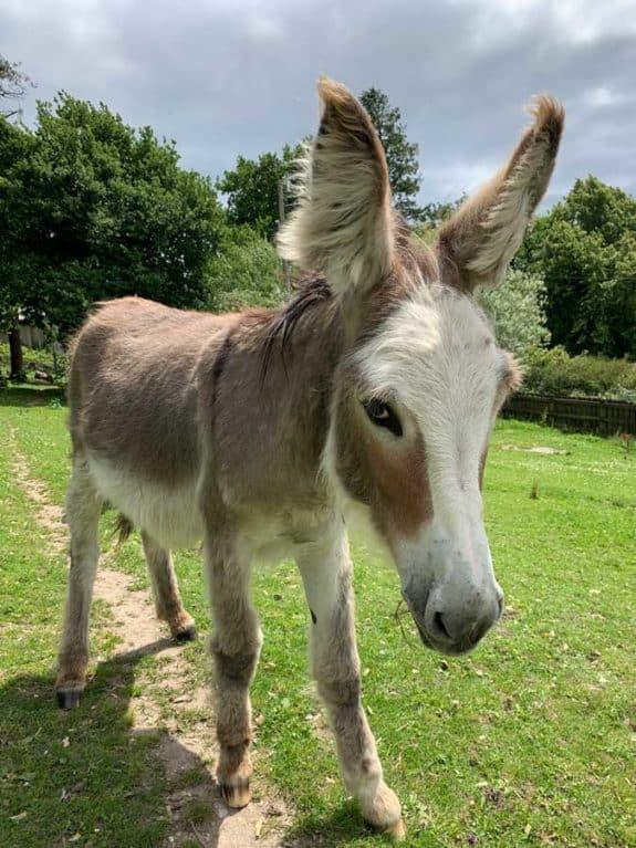 The Donkey Sanctuary, Sweet Pea