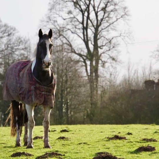 Horse in field wearing rug