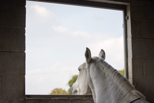 Horse looking out of stable