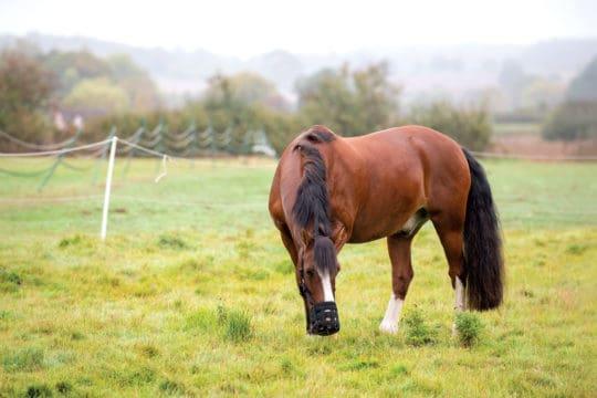Horse wearing grazing muzzle