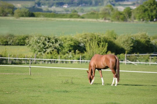 Horse grazing in paddock