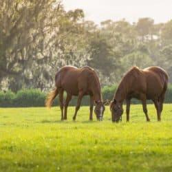 Horses grazing in paddock